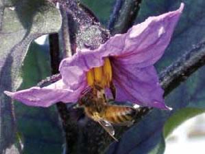ミツバチはナスの筒状の葯(やく)の下にしがみついて、前肢と口器を使って葯の先端を動かすことによって花粉を出させ、落とした花粉を腹部で受け止めるようにして花粉を集めます