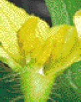 スイカの雄花。花粉や花蜜がたくさんありますが、雌しべは貧弱です。痕跡程度です。