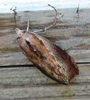 ハチノスツヅリガ成虫