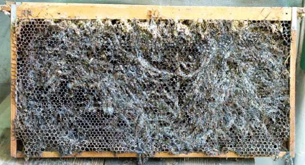 ハチノスツヅリガの食害を受けた巣板。