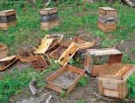 ヒグマによる被害。写真提供:(有)西澤養蜂場・西澤康全氏
