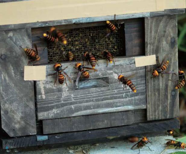 オオスズメバチの集団攻撃を受けた蜂群。巣門を一時的に閉じて侵入を防いでいます。このような状態になると、人間にも攻撃してきます。