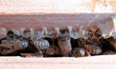 粉砂糖をかけられた働き蜂。翌日には元に戻っています。