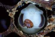 働き蜂蜂児に寄生して成虫になったミツバチヘギイタダニのメス。