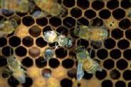 ミツバチヘギイタダニの寄生によりハネが縮れ、小形となった働き蜂。本種が媒介するDWV感染によるものか、または吸血による栄養不足によるものだと考えられています。