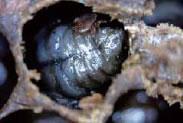 ミツバチヘギイタダニの重寄生により死亡した蜂児。