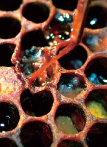 アメリカ腐蛆病によって死亡した蜂児。感染していると棒を巣房に差し込み引き出すと糸を引いた状態になります。写真提供:アメリカ農務省