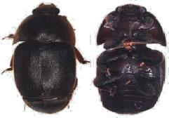 ハチノスムクゲケシキスイ 成虫 写真提供:アメリカ農務省