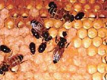 巣板にいるハチノスムクゲケシキスイの成虫。写真提供:アメリカ農務省