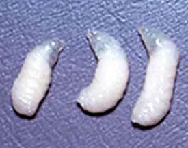 サックブルード病に感染した幼虫。写真提供: 玉川大学ミツバチ科学研究センター中村純教授