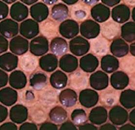 サックブルード病の巣板。写真提供:玉川大学ミツバチ科学研究センター中村純教授