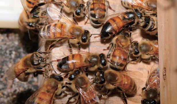 麻痺病に感染している働き蜂(中央と右上)。健常の個体に比べて胸部・腹部の毛がなく、体色が濡れたように濃くなっています。