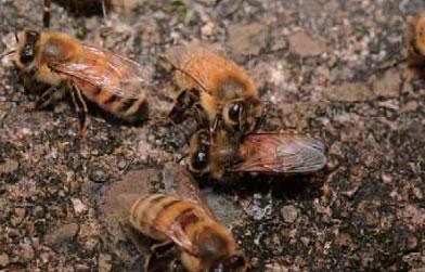 門番の蜂に体をチェックされている麻痺病感染個体。