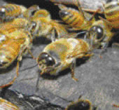 目玉が大きい雄バチは交尾だけが仕事