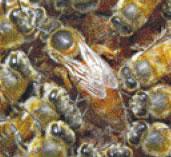 巣箱(蜂群)に1匹だけの女王バチ