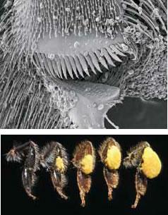 花粉をダンゴにするための圧縮器(上)と、後ろ肢のバスケット内で大きくなっていく花粉ダンゴ(下)