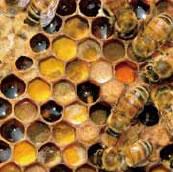 巣房内に貯められたハチミツと花粉(ハチパン)