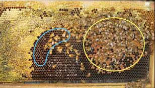 イチゴハウスへの導入後1ヶ月経った巣板の様子。イチゴの花粉が貯蔵されている巣房も散見されます(ここでは巣板が見えるように蜂は一部取り除いてあります)。青:花粉が貯蔵されているエリア、黄:育児をしているエリア